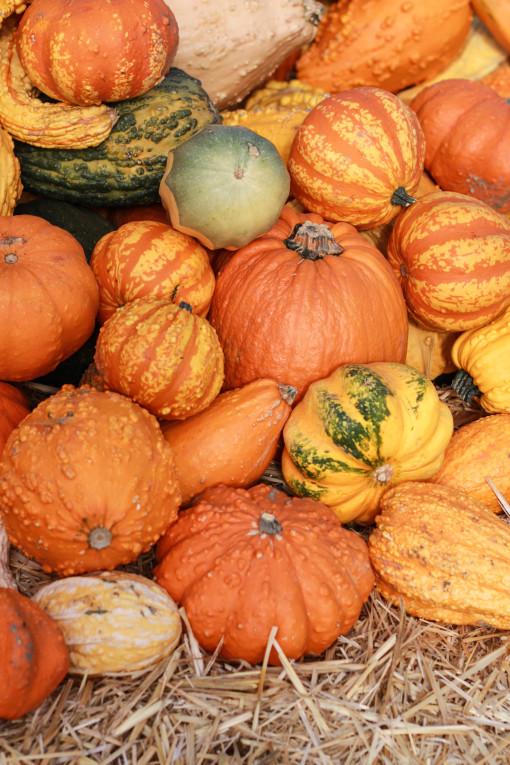 lots of pumpkins www.girlontherange.com