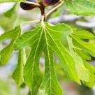 fig tree www.girlontherange.com